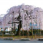 柏崎支所前のしだれ桜
