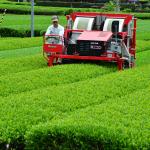 茶の刈り取り